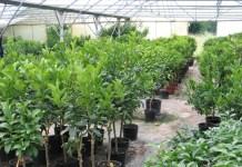 Création et conduite d'une pépinière agrumicole (plants Agrumes)