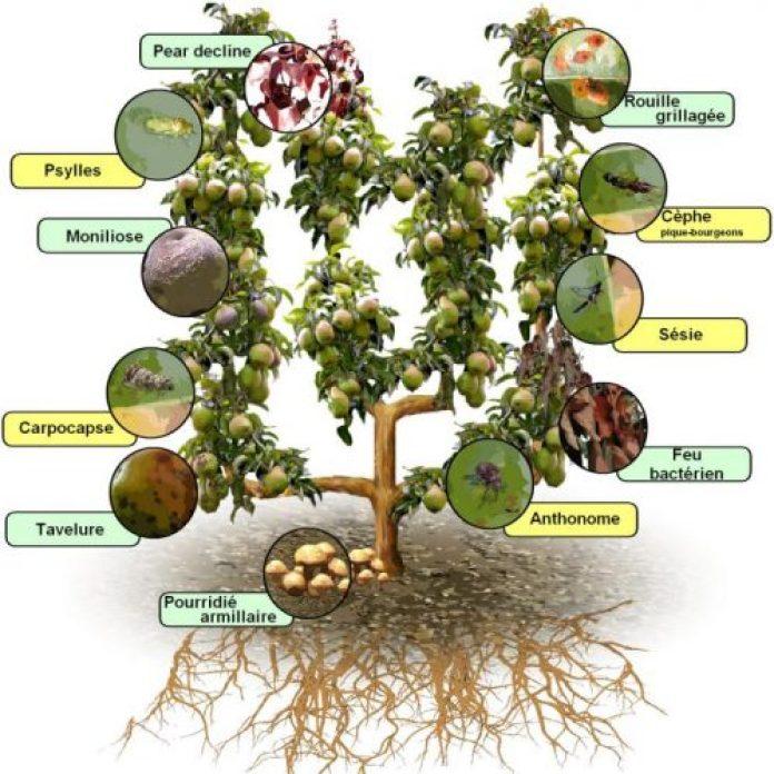 أهم الامراض و الطفيليات التي تصيب أشجار التفاح و الاجاص