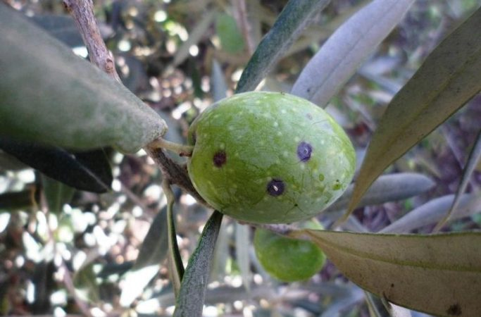 أهم الأمراض و الحشرات التي تصيب أشجار الزيتون