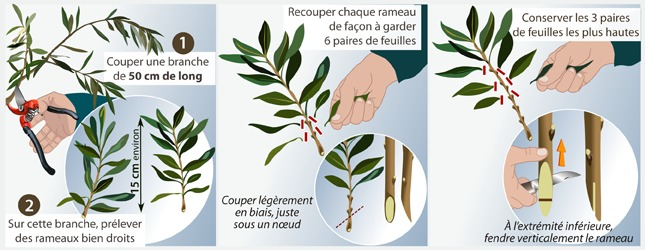 TECHNIQUE DE MULTIPLICATION DE L'OLIVIER PAR BOUTURAGE HERBACE