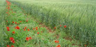 مكافحة الأعشاب الضارة للحبوب