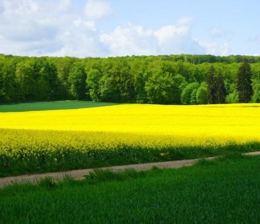 Le colza fourrager en agriculture biologique: intérêt et conduite