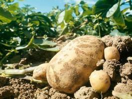 – آفات و أمراض منتوج البطاطا – الامراض الفطرية للبطاطا