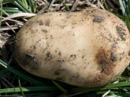 – آفات و أمراض منتوج البطاطا – الآفات الحشرية للبطاطا