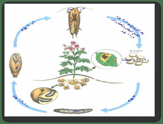 دورة حياة فراشة البطاطا