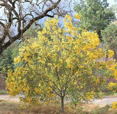 Acacias شجرة الاكاسيا