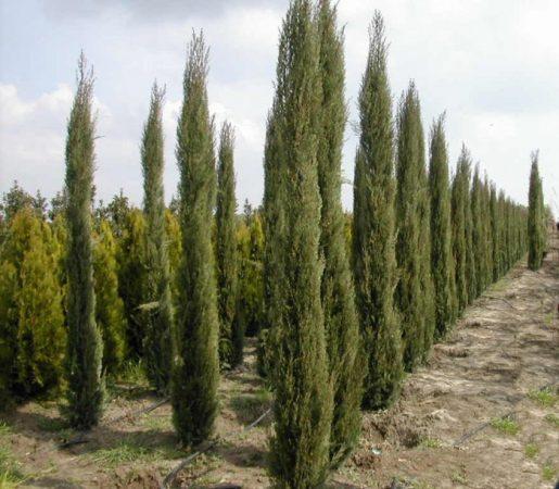 Cupressus sempervirens شجرة السرول