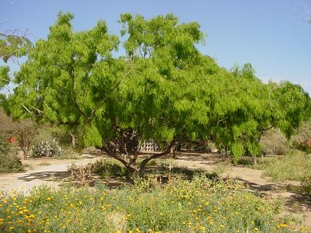 Prosopis spp شجرةالغاف