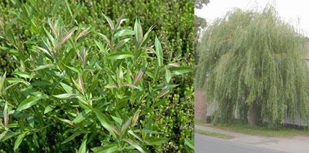 Salix spp شجرة الصفصاف