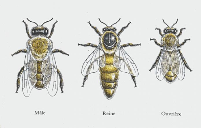 Population de la ruche