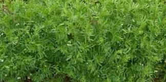 (المسار التقني لزراعة البقوليات الغذائية (العدس , الحمص