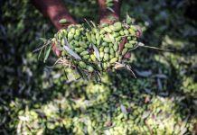 المعملات الزراعية لجني ثمار الزيتون؟