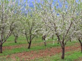 زراعة شجرة اللوز