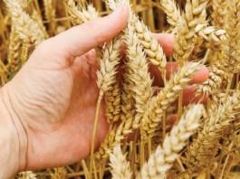 زراعة وانتاج القمح