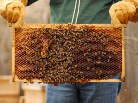 عدم اقبال النحل على بناء براويز شمع الأساس
