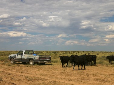 Setting out mineral and salt to yearling steers
