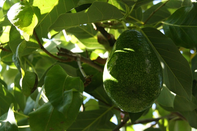 Avocado can grow in Pakistan