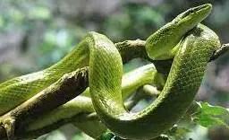 Snake in tomato plant