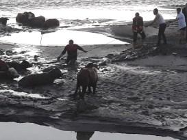 Ağrı'da bataklığa saplanan inekleri itfaiye kurtardı