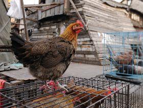 Fourth Wave of H7N9 Flu Puts Poultry Livelihoods at Risk