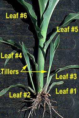 Vegetative stages in Maize