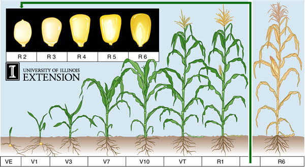 Reproductive stages in Maize