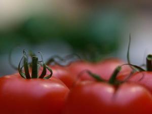 tomatos (Copy)