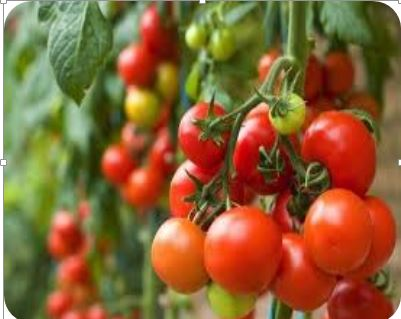 Hybrid Seed Production in Tomato