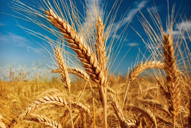 How Sustain Wheat Yield under Changing Environmental Conditions