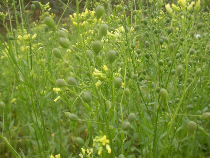 Camelina Oil as an Emerging Biofuel