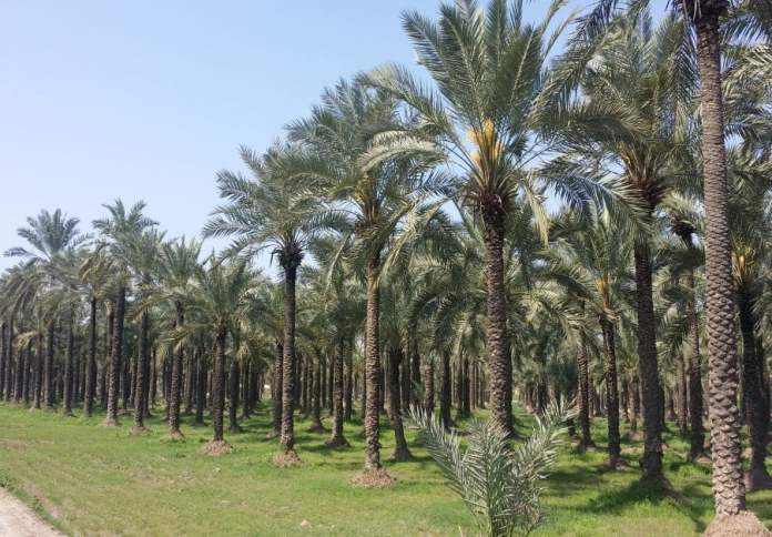 Insect pest of date palm and their control