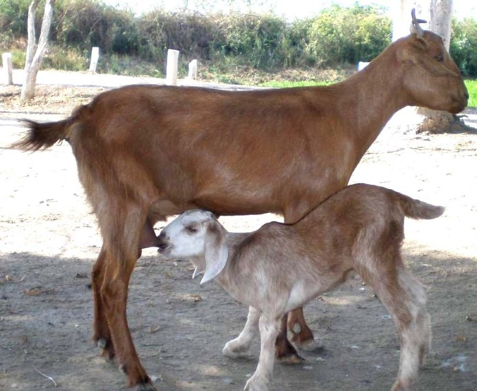 Goat Breeds In Punjab