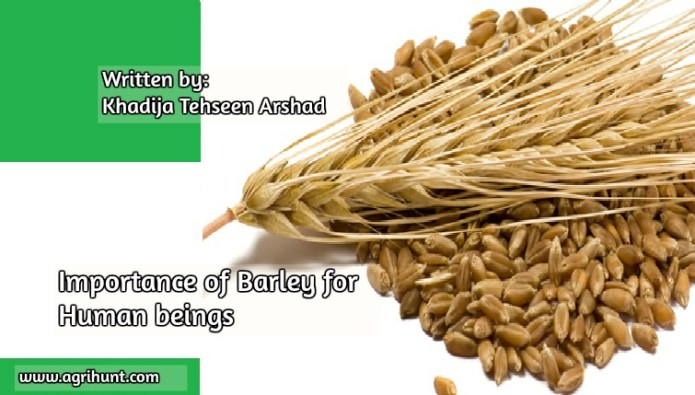 Importance of Barley for Human beings