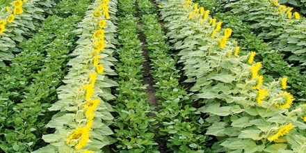 Multiple Cropping and Soil Productivity