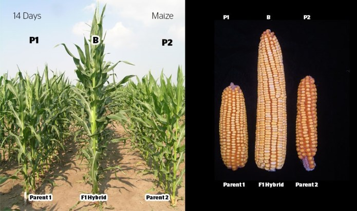Hybrid seed production in Maize