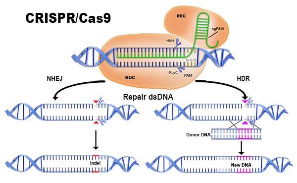 GENOME EDITING TECHNIQUE: CRISPR-CAS9: