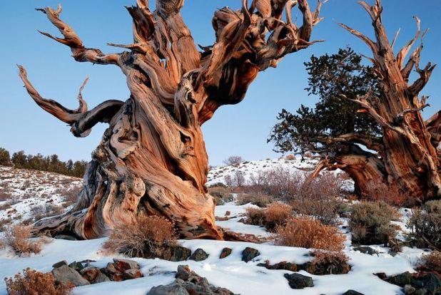 Bristlecone-Pine-Forest-Snowy.jpg.838x0_q80