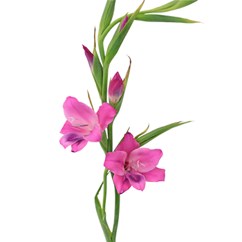 Introduction of Gladiolus Cultivation