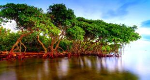 SALINITY-TOLERANCE-OF-MANGROVES