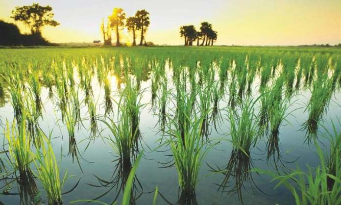 Rice cultivation schedule released