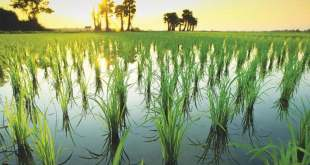 Rice-cultivation-schedule-released