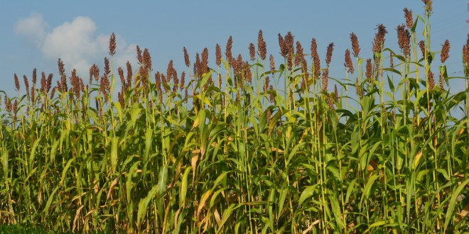 production-technology-of-sorghum-in-pakistan-urdu