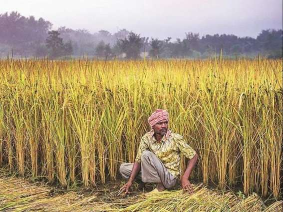Rs 2000 Per Acre Subsidy For Gram Crop Promotion In Punjab