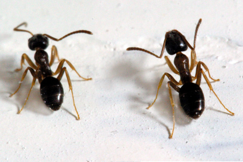 Identifying Household Ants Insects In The City