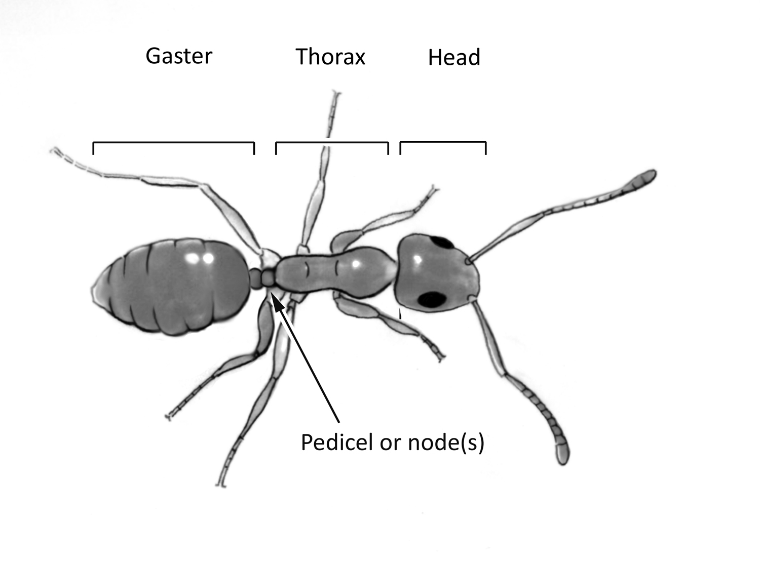 Identifying Household Ants
