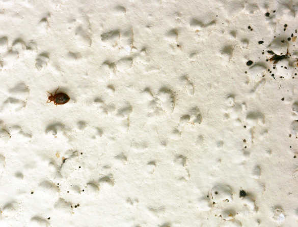 Bed Bug In Textured Ceiling With Droppings Right Around Harborage
