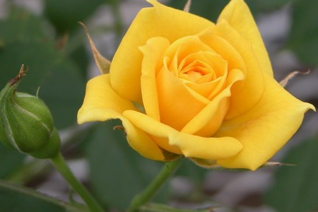 Flower shop near me yellow rose of texas flower flower shop yellow rose of texas flower the flowers are very beautiful here we provide a collections of various pictures of beautiful flowers charming mightylinksfo