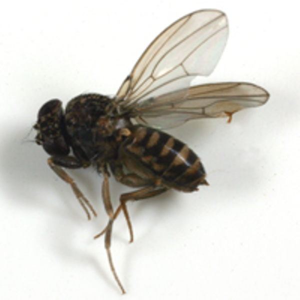 How To Get Rid Of Fruit Flies In Your House Agrilife Today