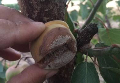 късно кафяво гниене - monilia fructigena