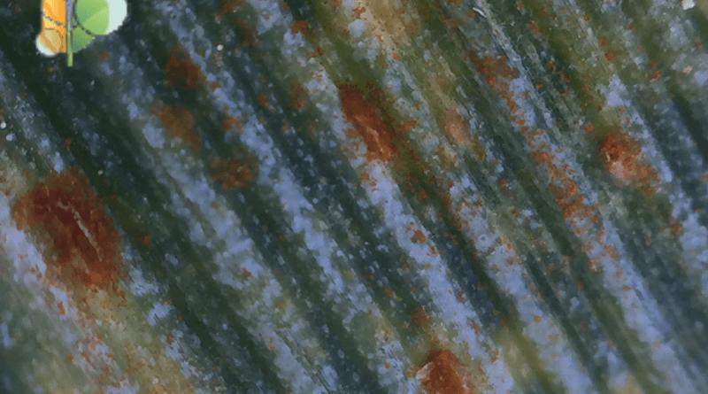 кафява ръжда по пшеницата